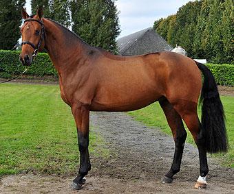 Un beau cheval bai où sont visibles les traces du pigment rouge du gène Extension.